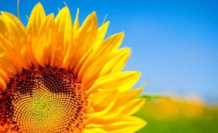 Попит на лушпиння перевищив попит на насіння соняшника