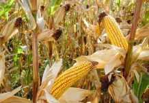 Ефективне удобрення кукурудзи