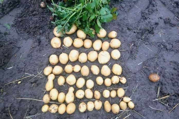 День картоплі