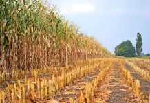 Економічна ефективність виробництва зерна кукурудзи