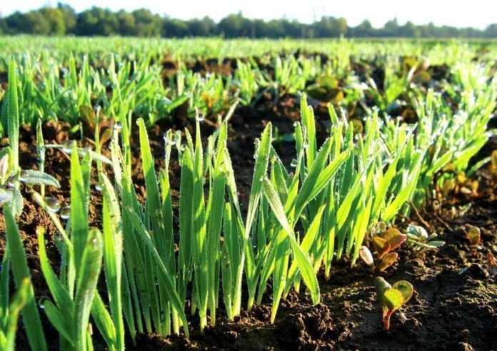 Фізіологія рослин пшениці