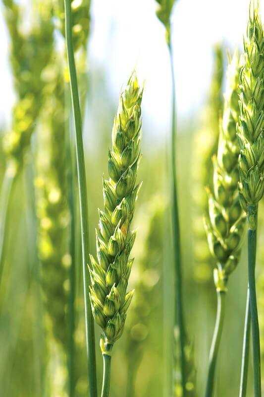 Формування врожайності пшениці