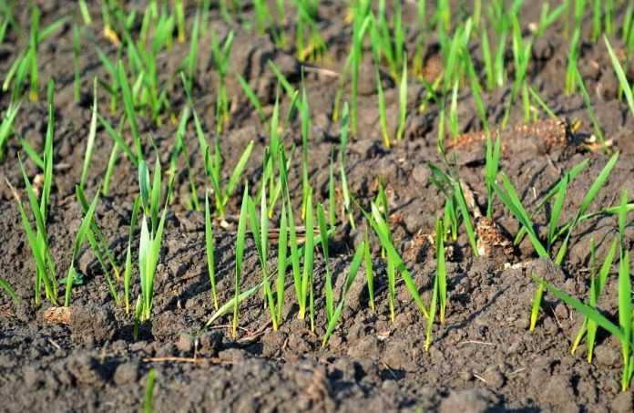 Врожай пшениці