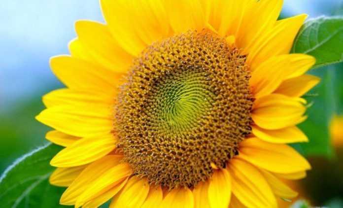 Кондитерський соняшник