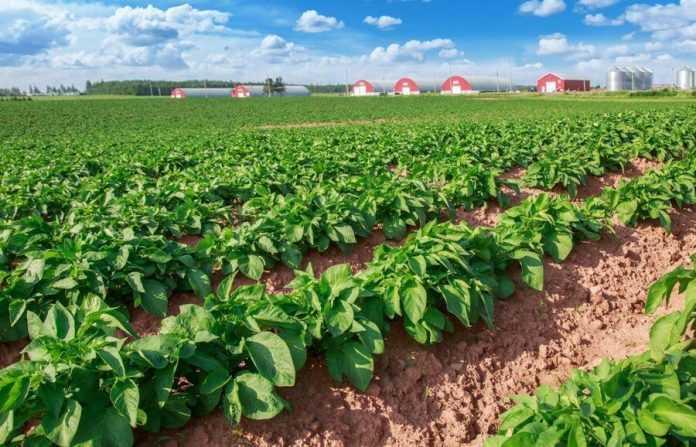 Вирощування насіннєвої картоплі