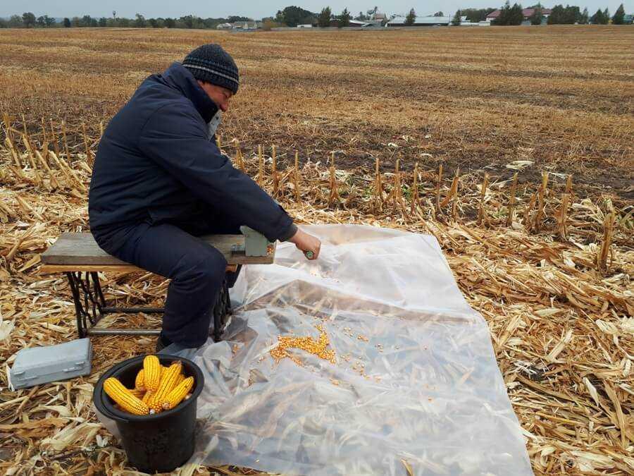 Фото 3. Обмолот та визначення урожайності