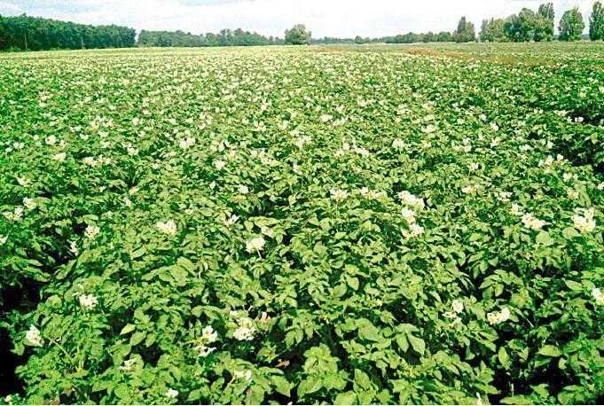 Початок цвітіння картоплі