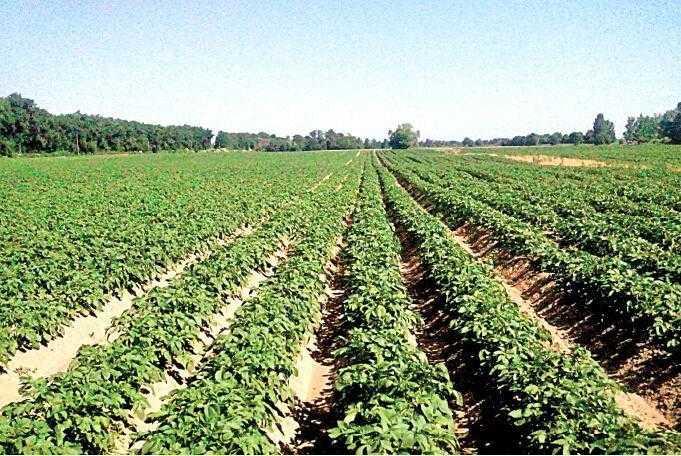 Розвиток картоплі