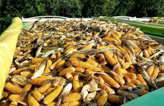 Семенная кукуруза