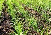 Догляд за озимою пшеницею