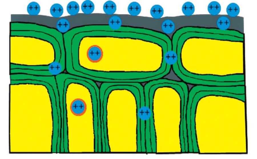 Рис 1. Внесення не хелатизованих (у вигляді солей) мікродобрив. Більшість мікроелементів залишається на поверхні листя і швидко змивається опадами чи здувається вітром