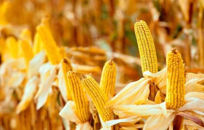 Найвища врожайність кукурудзи 2017