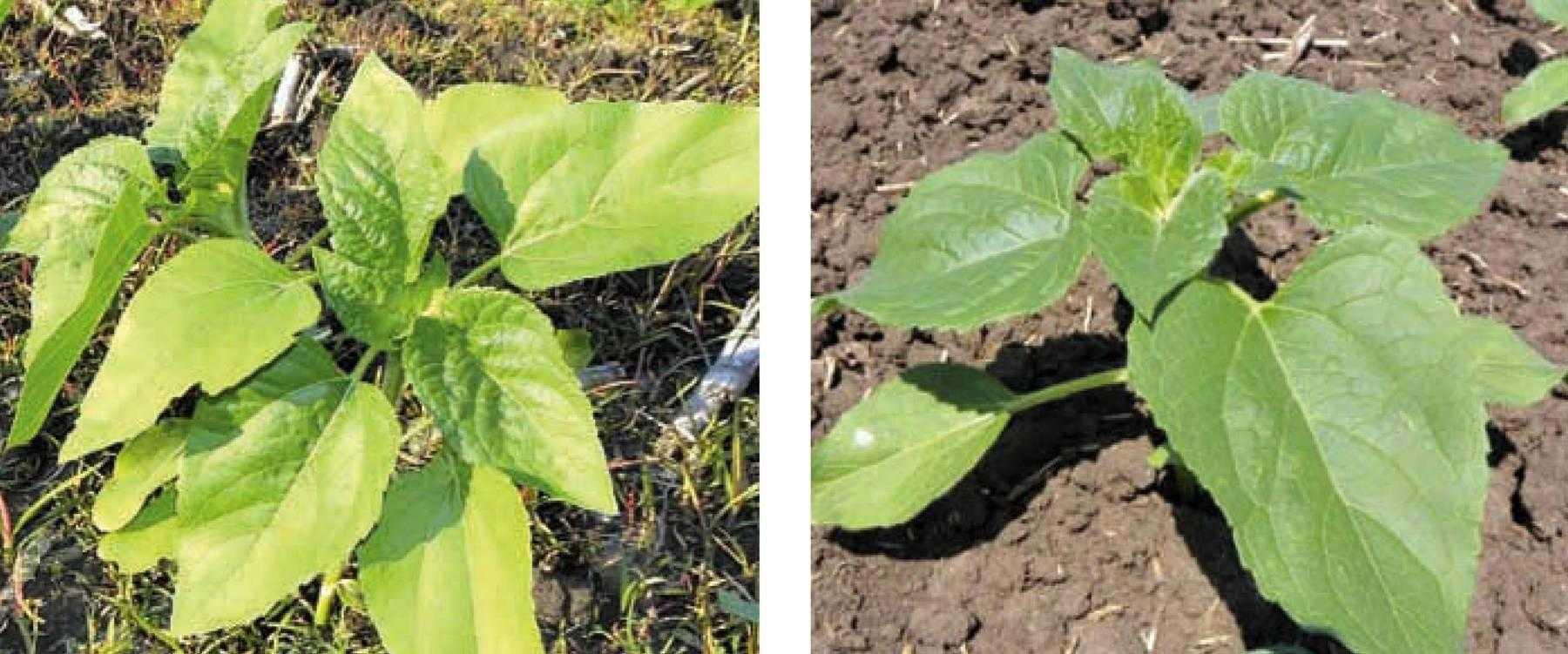 Симптомы дефицита азота: cлева – нехватка азота, справа – нормальное растение