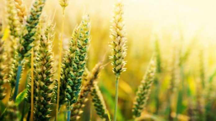 Сорти пшениці