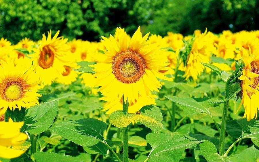 Вирощування соняшнику