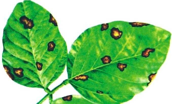 Діагностичні ознаки аскохітозу на листках