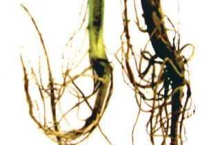 Фузаріозна коренева гниль (фаза формування бобів)
