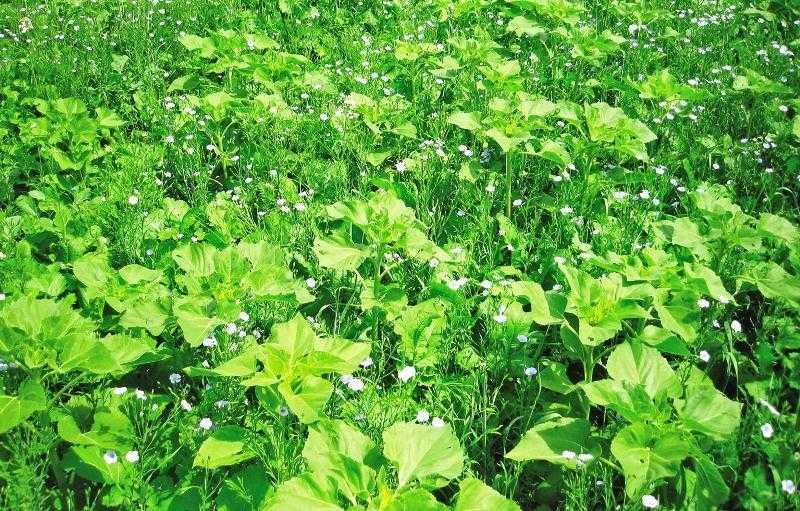 Высев покровных культур после уборки урожая основной культуры – один из способов продлить «работу» микроорганизмов