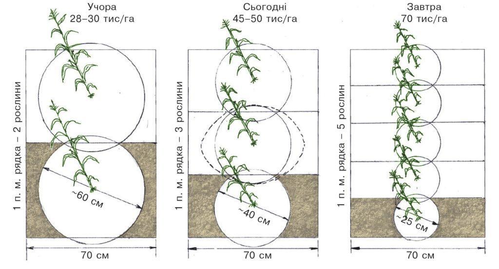 Розміщення рослин кукурудзи на полі