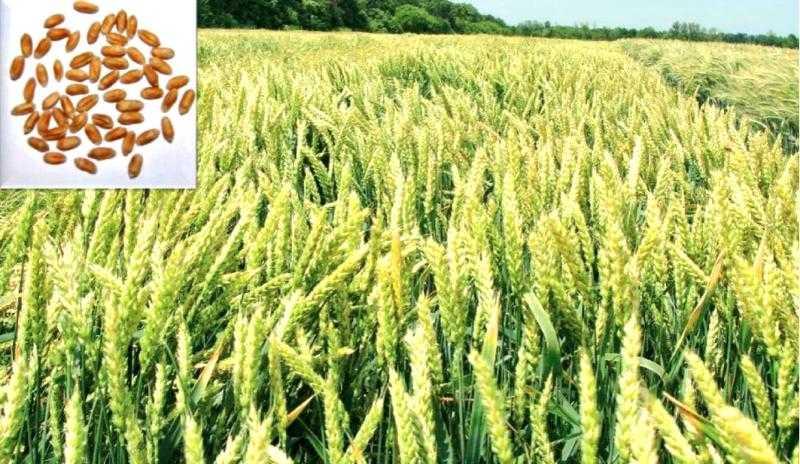 Озима пшениця Кан