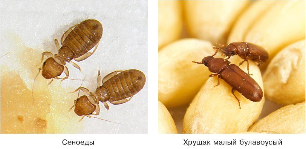 Насекомые, повреждающие рапс и другие масличные культуры
