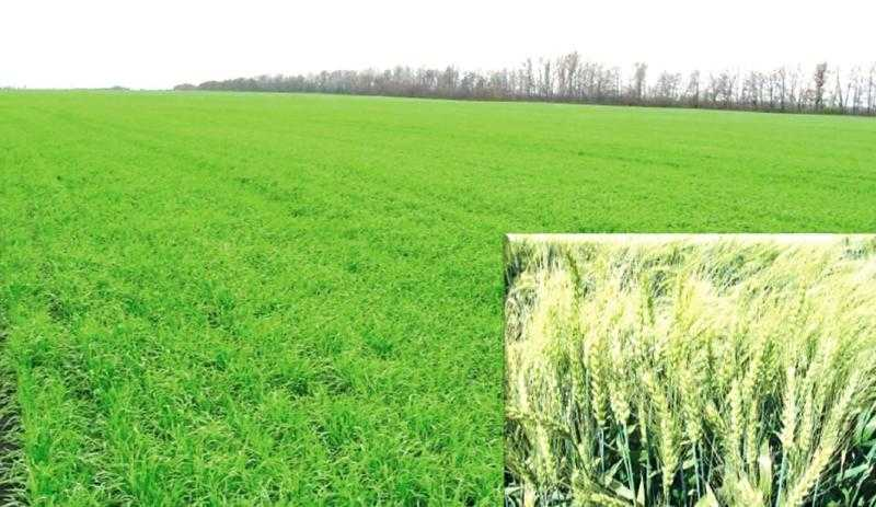 Озима пшениця Бріон