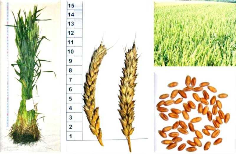 Озима пшениця Ліль