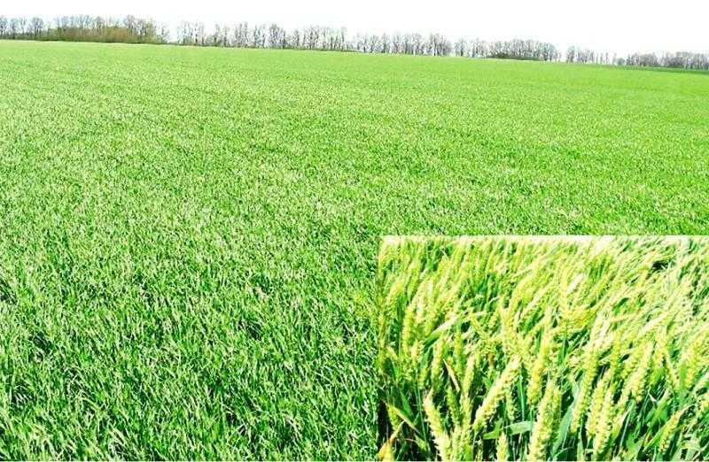 Озима пшениця Лаваль