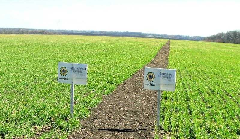 Перспективні сорти озимої пшениці Лаваль і Діжон