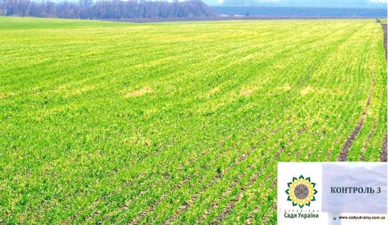 Іноземний сорт озимої пшениці