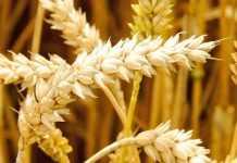 Українська селекція пшениці