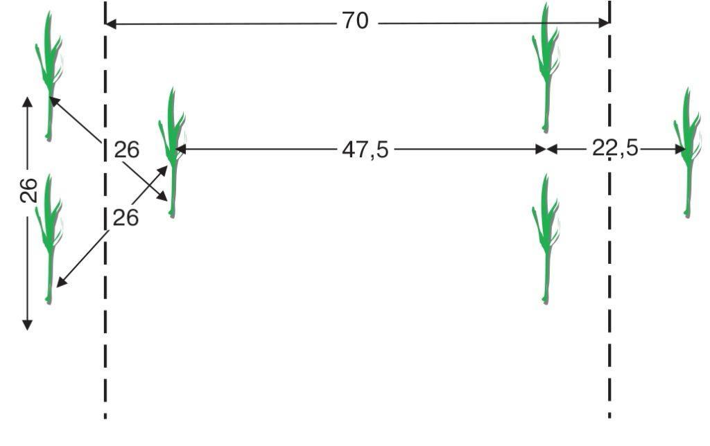 Схема розміщення рослин кукурудзи за формування густоти 109,9тис. шт.-га (розміри вказано в см)