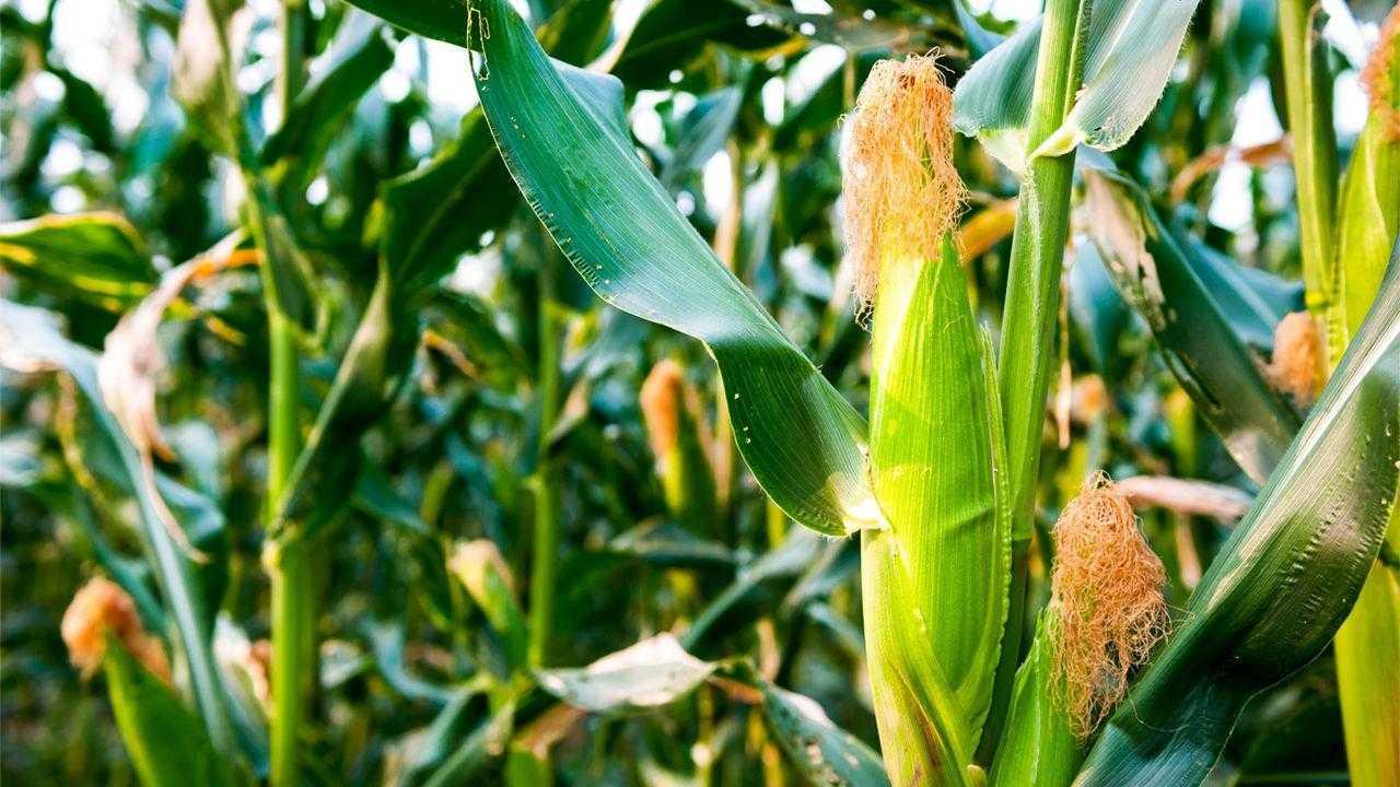 Внесение безводного аммиака под кукурузу