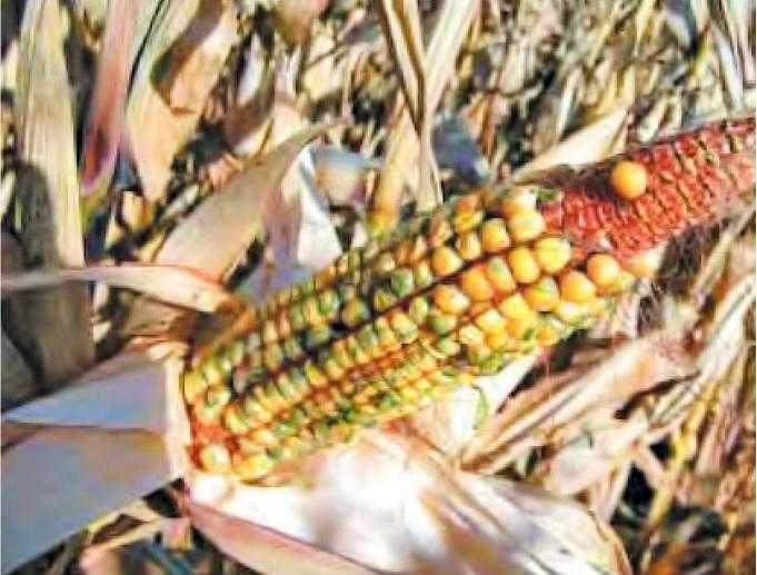 Большая часть зерновок этого початка проросла. На поверхности зерен появился колеоптиль