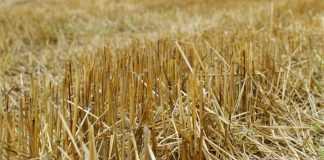 Пожнивні рештки пшениці