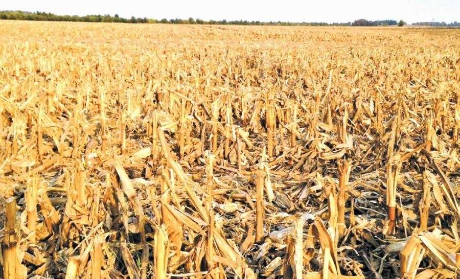 Рештки кукурудзи