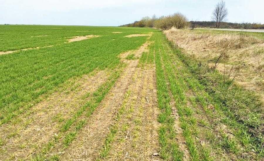 Розвиток тифульозу на посівах озимих зернових культур