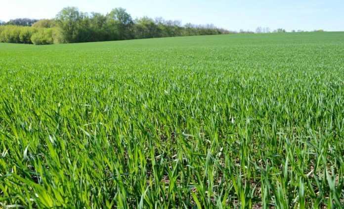 Стрес рослин пшениці