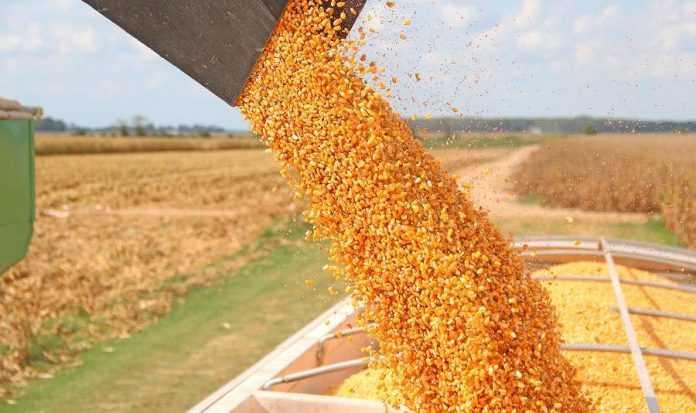 Урожай кукурудзи Агроном