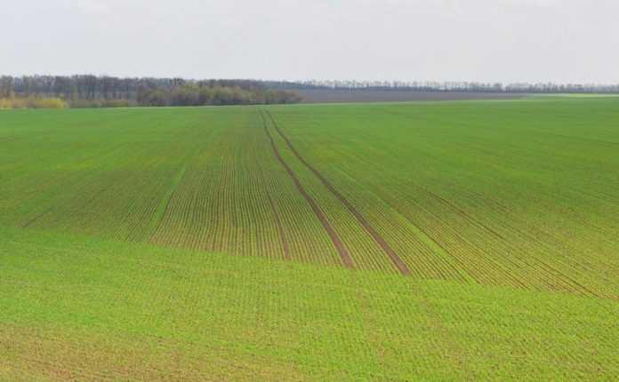 Захист озимої пшениці восени