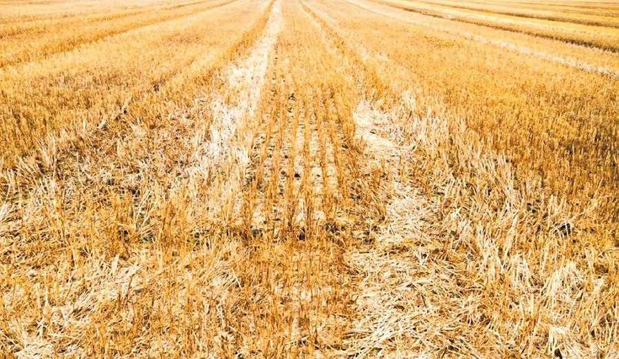 Стерня пшеницы