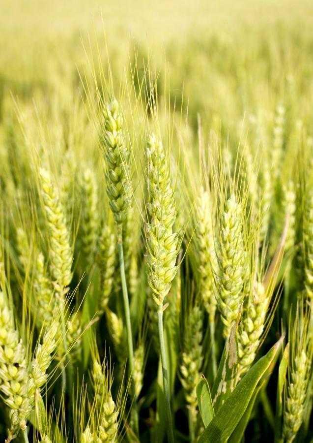 Адаптивні сорти озимої пшениці