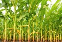 Обробіток грунту під кукурудзу
