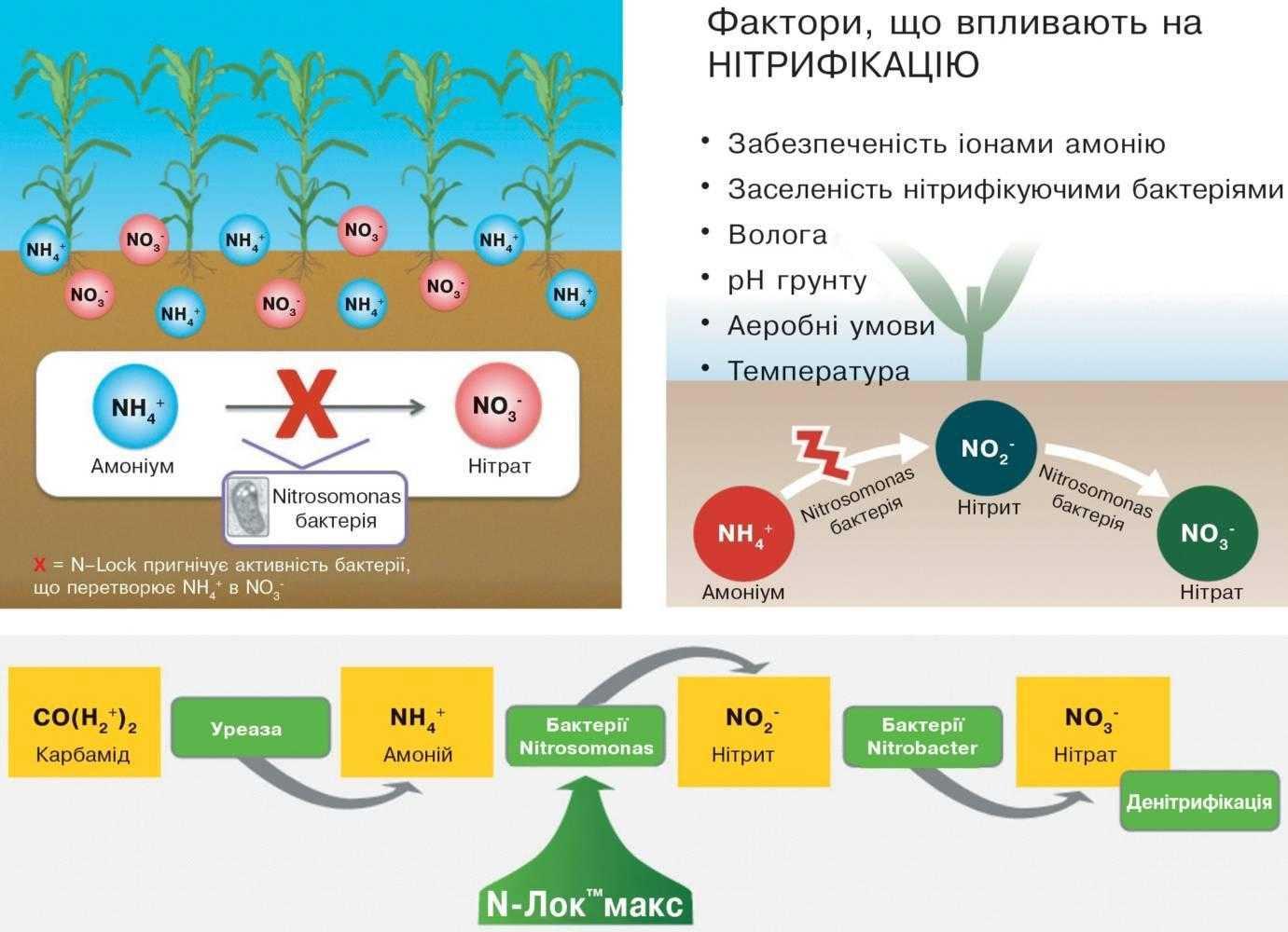 Перетворення амонію в нітрат – результат діяльності нітрифікуючих бактерій
