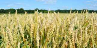 Удобрення пшениці
