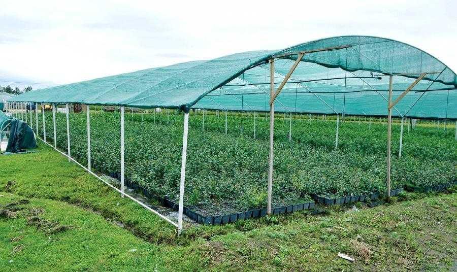 Вирощування розсади лохини