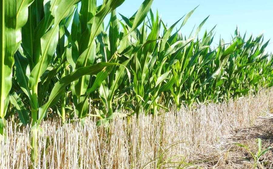 Відсутність механічного обробітку ґрунту виключає втрати вологи через конвекційно-дифузне випаровування