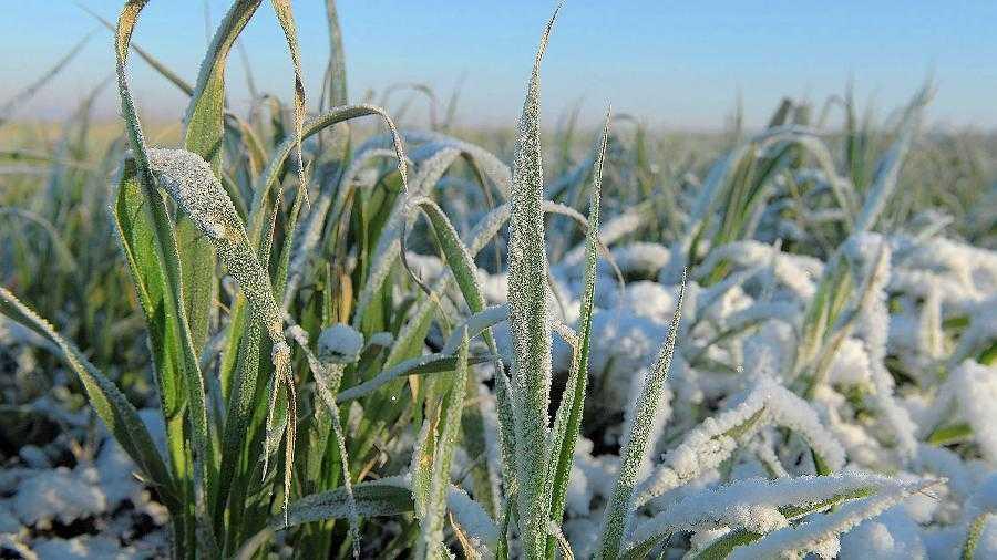 Гибель посевов пшеницы зимой