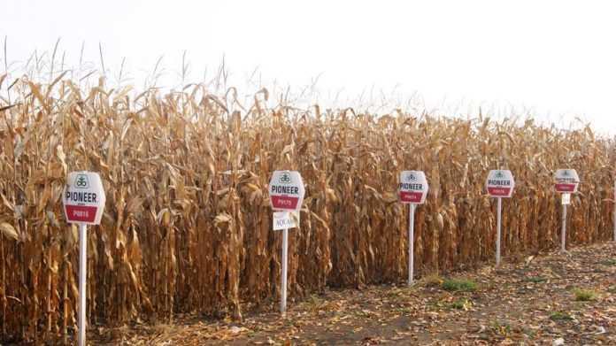 Гібриди кукурудзи Pioneer