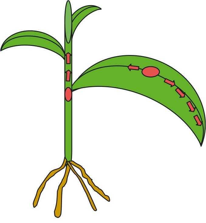 Рис. 3. Акропетальне переміщення системного фунгіциду